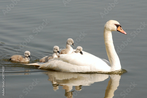 Photo sur Toile Cygne swan carries chicks piggyback