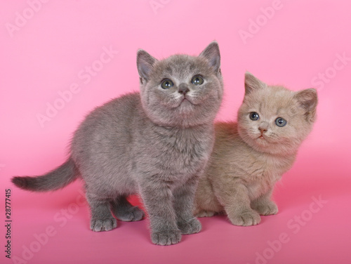 Poster Jaune Purple and blue British shorthair kittens in pink.