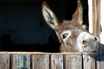 Smiješni magarac