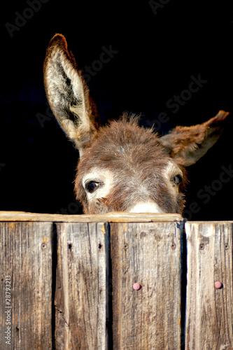 Fényképezés Shy Donkey