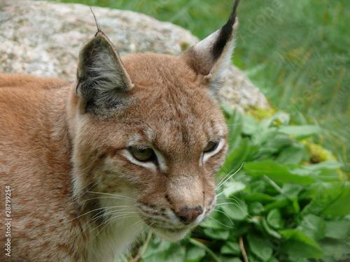 Wall Murals Lynx Luchs