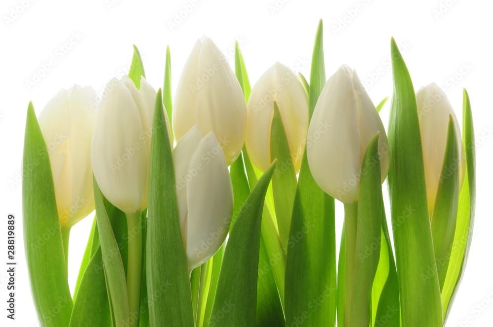 Fototapety, obrazy: Białe tulipany