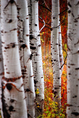 Panel Szklany Brzoza Fall Birch Leaves