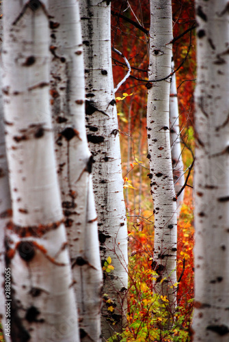 Spoed Fotobehang Berkbosje Fall Birch Leaves