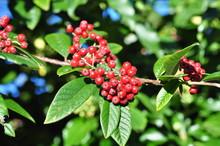 Cotoneaster Salicifolius Berries