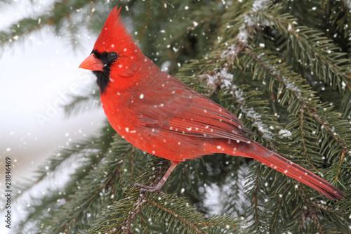 Sticker - Cardinal In A Snow Storm