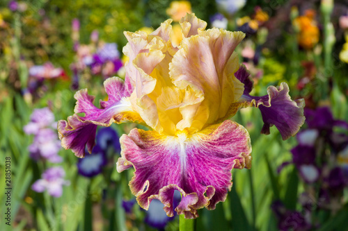 Yellow and purple iris on garden background