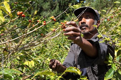 Photo  St Helena coffee farmer picking ripe cherry beans