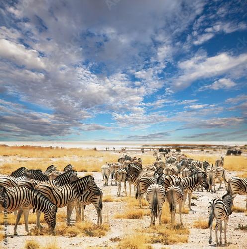 Naklejki zwierzęta zebry