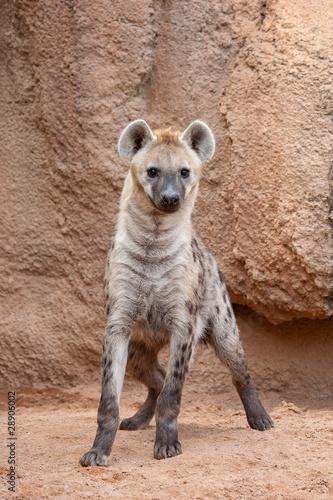Garden Poster Hyena Hiena