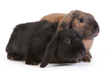 Brown And Black Lop Eared Rabbits, Isolated