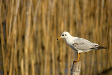 Seagull Standing On The Timber