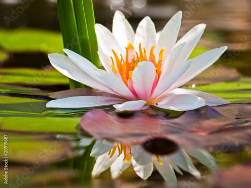 Fototapety, obrazy: water lily
