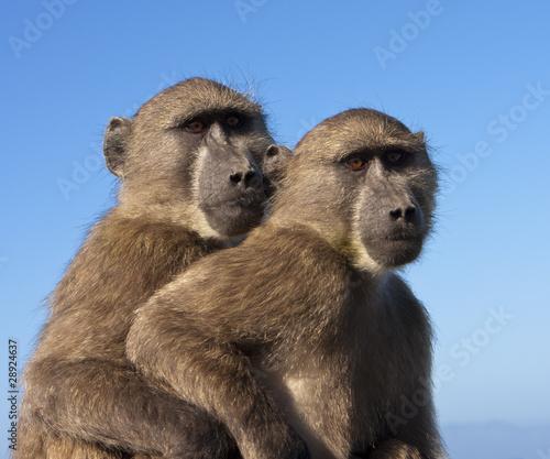 Valokuvatapetti Two Baboons Together