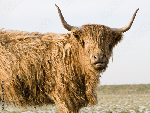 Obraz na plátně Scottish Highlander