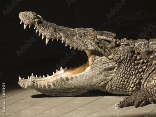 Poster Crocodile Open mouth of a crocodile
