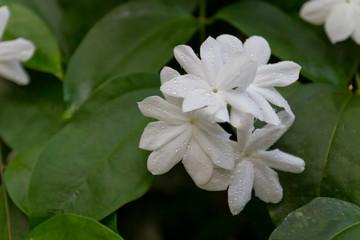 Obraz na płótnie Canvas Jasmine flower