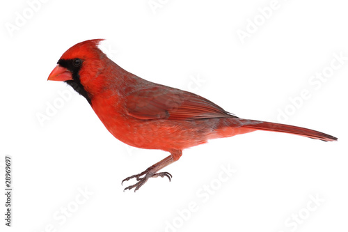 Photo Isolated Cardinal On White