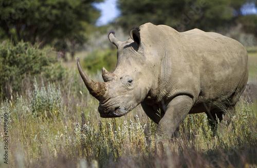 In de dag Neushoorn Nashorn im Wald