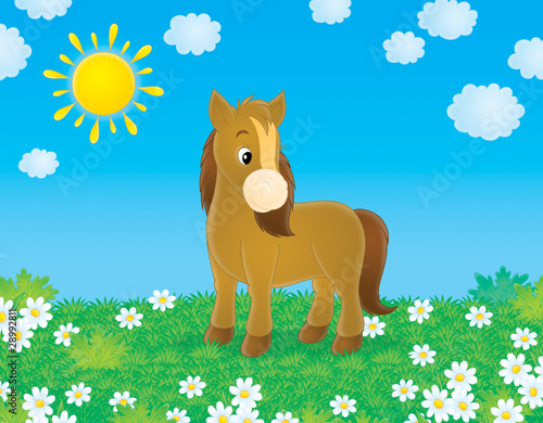 Fotobehang Pony Brown pony walks in a field with chamomiles in sunny day