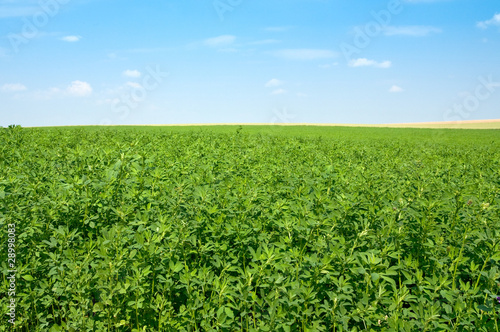 green lucerne field  blue sky Wallpaper Mural