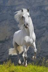 Fototapetawhite horse runs gallop