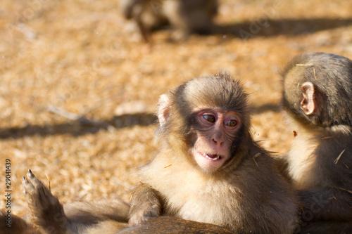 In de dag Japanese macaque baby