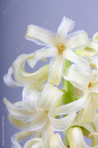 Narcissus Beautiful springtime narcissus