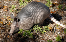 Young Nine Banded Armadillo Di...