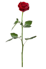 Single Red Rose Isolated On Wh...