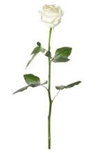 Single White Rose Isolated On White Background