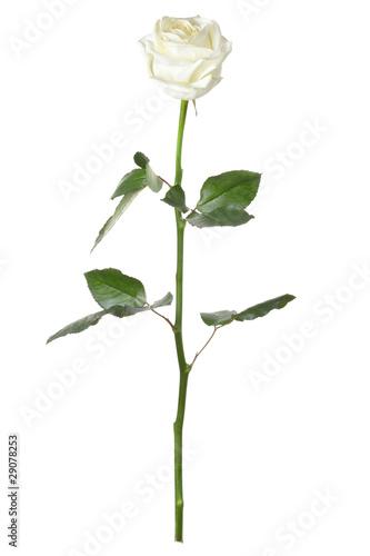 Single white rose isolated on white background Fototapeta