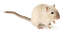 Isolated Pet Mouse. Cute Little Gerbil Of Siamese Color Isolated On White Background