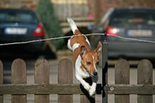 Jack Russell Terrier Springt über Einen Zaun