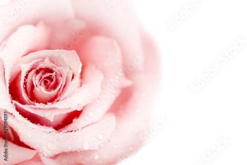 swieza-rozowa-roza