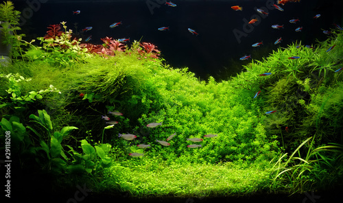 Fotografie, Obraz  Nature freshwater aquarium in Amano style with little characins