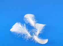 Feathers Of Pigeon Over Blue