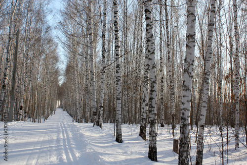Foto op Canvas Berkbosje Winter birchwood