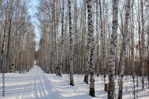 Tuinposter Berkbosje Winter birchwood