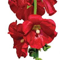 Alcea Rosea Hollyhock Flower Stem And Raindrops Isolated Closeup
