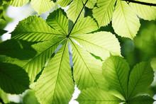 Blätter Einer Kastanie Im Sonnenlicht,frühjahr