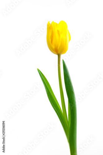Deurstickers Tulp gelbe Tulpe