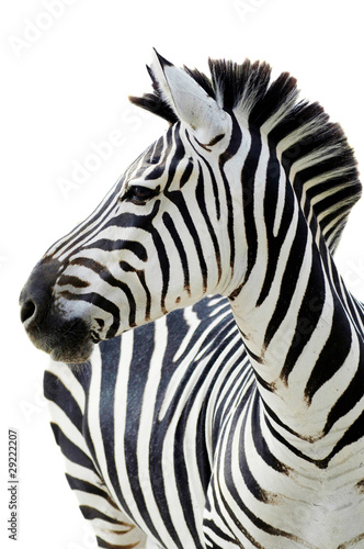 Spoed Foto op Canvas Zebra Grant's zebra (Equus quagga boehmi) isolated