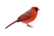 Isolated Cardinal On White