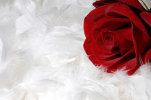 Red Rose On White Feathers