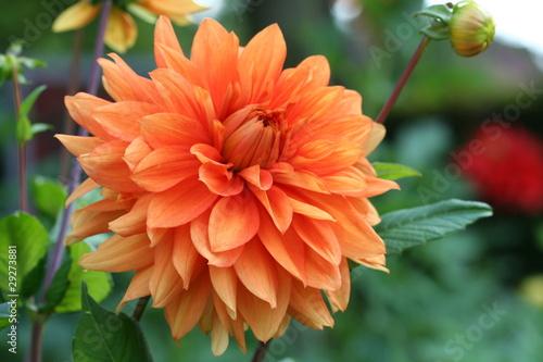 Canvas Prints Dahlia Dahlia in orange color