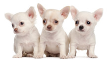 Three Chihuahua Puppies, 2 Months Old, In Front Of White Backgro