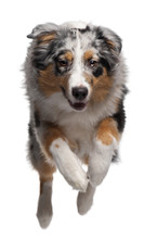 Australian Shepherd Dog Jumping, 7 Months Old, In Front Of White