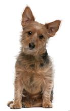 Australian Terrier Dog, 9 Year...