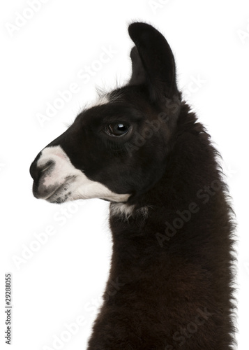 Poster Lama Llama, Lama glama, in front of white background